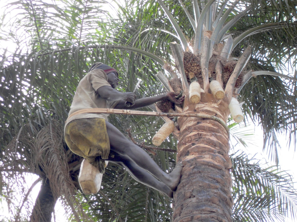 the palm-wine tapper up the palm-tree tapping wine
